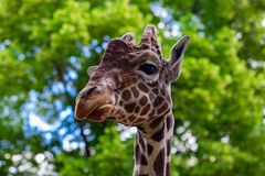 Close-up of a giraffe in front of some green trees, looking at t. He camera as if to say You looking at me. With space for text royalty free stock image