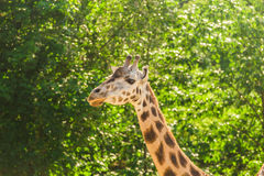 Close-up of a giraffe in front of some green trees. With space for text. Close-up of a giraffe in front of some green trees. With space for text Stock Photo