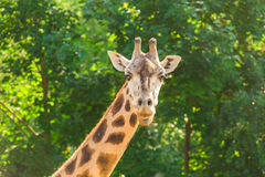 Close-up of a giraffe in front of some green trees. With space for text. Close-up of a giraffe in front of some green trees. With space for text Stock Image