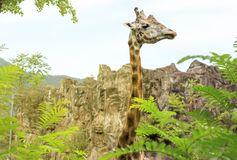 Close-up of a giraffe in front of some green trees. Toned stock image