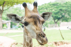Close-up of Giraffe (Giraffa camelopardalis) Royalty Free Stock Photo