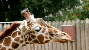 Close up of a giraffe. Stock Images