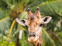 Close up giraffe head Royalty Free Stock Photos
