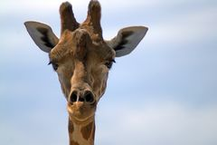 Portrait of a giraffe in front against the sky royalty free stock photo