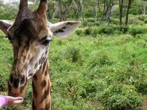 Close up of giraffe head while being fed. Kenya stock photos