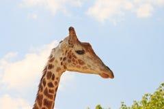 Close up giraffe head on blue sky Royalty Free Stock Photo