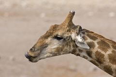 Close-up of Giraffe head and neck Royalty Free Stock Photography