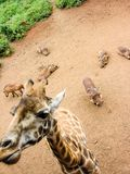 Close up of giraffe head with phacochoerus in the background royalty free stock photography