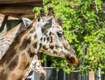 Close up of giraffe head. Portrait of a giraffe in profile. stock images