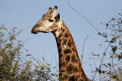 Close-up of giraffe royalty free stock photo