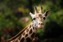 Close-up of giraffe looking in the camera Royalty Free Stock Image