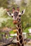 Close up Giraffe portrait royalty free stock image