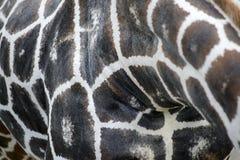 Close up of Giraffe spots royalty free stock photography
