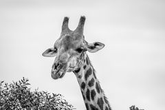 Close up of a Giraffe starring at the camera. Royalty Free Stock Photos