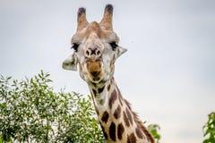 Close up of a Giraffe starring at the camera. Royalty Free Stock Photo