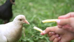 Close-up. Girl feeding dove with hands french fries stock video footage