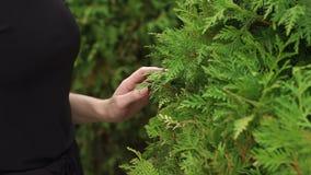 Close-up of a girls hand on a beautiful bush fir. stock footage