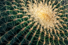 Close up of globe shaped cactus with long thorns Royalty Free Stock Image
