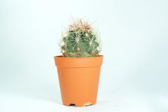 Close up of globe shaped cactus. With long thorns, Cactus, Cactus thorn,plastic brown pot Stock Photography