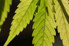 Close up of glowing backlit serrated marijuana leaves. Late afternoon sun shines through a canadian cannabis leaves Stock Image