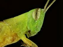 Closeup of grasshopper Royalty Free Stock Images