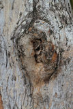 Close up gnarl of tree Royalty Free Stock Photography