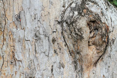 Close up gnarl of tree Royalty Free Stock Photos