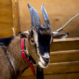 Close-up of a Goat with beautiful horns and wool in a red collar. Clever and watchful look of a goat. Concept Stock Photography