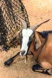 Close up goat Royalty Free Stock Photos