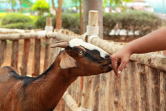 Close-up goat in the farm Royalty Free Stock Image