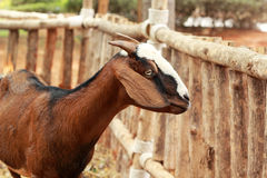 Close-up goat in the farm Royalty Free Stock Photography