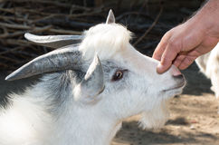 Close up of goat at the farm. Royalty Free Stock Image