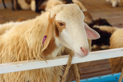 Close-up goat in the farm at the zoo. Royalty Free Stock Photography