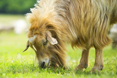 Close up of goat feeding grass on the farm Stock Image