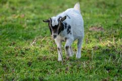 Close-up of a goat in a field in flanders. royalty free stock photography