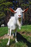 Close up of a goat Royalty Free Stock Photography