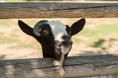 Close up of Goat head. Through a fence Stock Image