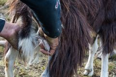 Close up goat milking in farm Royalty Free Stock Photo