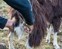 Close up goat milking in farm Royalty Free Stock Images