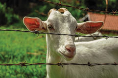 Close-up of goat next a fence in a farmhouse near the village of Joanópois. Stock Photography