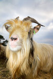 Close up goat Royalty Free Stock Photo