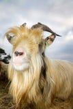 Close up goat Royalty Free Stock Photo