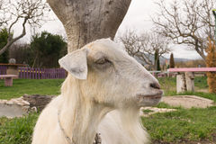 Close up of a goat resting at a park. Stock Photos