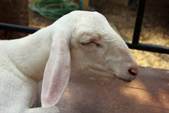 Close up goat sleeping in farm Stock Photos