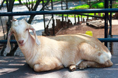 Close up goat sleeping in farm Royalty Free Stock Photo