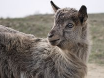 Close up of  goatling. See my other works in portfolio Royalty Free Stock Photography