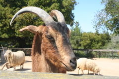 Goat and Sheep Royalty Free Stock Image