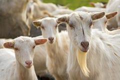 Close up of goats. Goats on pasture near the village Nova vas on Karst region (Slovenia Stock Photography
