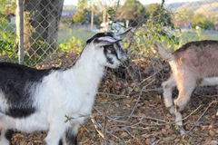 Close up on goats Royalty Free Stock Photography