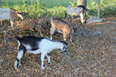 Close up on goats Stock Photo